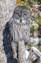 Great Gray Owl Hunting From Tree