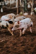Cerdo Bebé Caminando En La Gr...