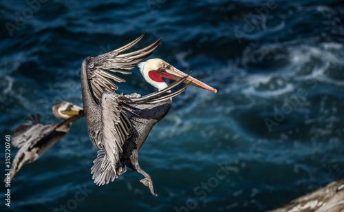 Fototapeta large pelican in ocean obraz
