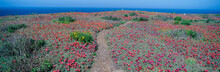 Iceplant And Coreopsis On Anacapa Island, Channel Islands, California