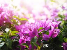 Pink Bougainvillea Flower In B...