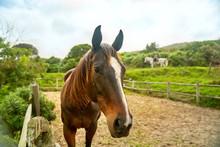 Portrait Brown Horse In Rural ...