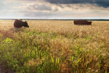 Two Cows Graze In A Field At S...