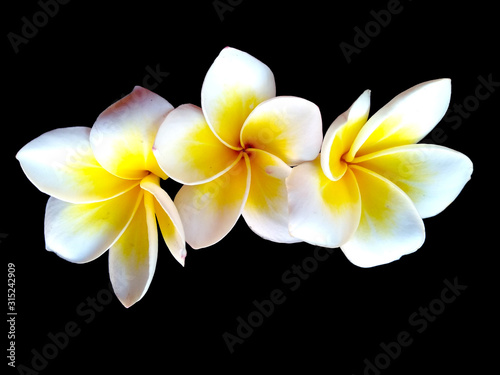 Plumeria flowers or Frangipani flower isolated on black background Poster Mural XXL