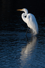 Great Egret In Dark Background With Reflection