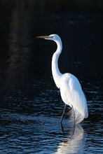 Great Egret In Dark Background