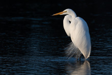 Great Egret With Dark Background In Landscape Mode