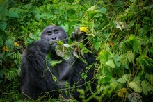 Wild Silverback Gorilla Eating In The Forest Of Bwindi Impenetrable National Park, Uganda.