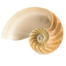 Halved Chambered Nautilus Shell