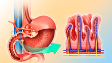Small Intestine And Stomach, Illustration