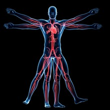 Vitruvian Man Veins, Illustration