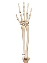 Arm And Hand Bones, Illustration
