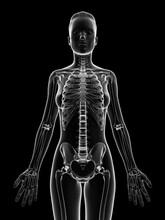 Human Skeletal Structure, Illustration