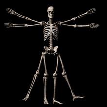 Vitruvian Man Skeleton, Illustration
