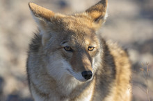 Coyote In Death Valley California Close Up