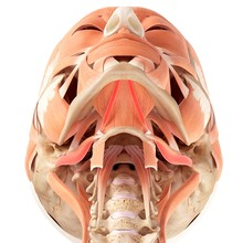 Human Jaw Muscles