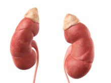 Human Kidneys