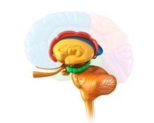 Human Brain Structures, Illust...