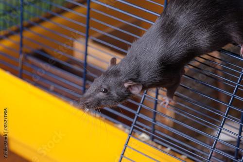 Obraz na płótnie Black curious domestic rat