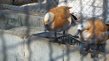 Footage Of Ducks In The Cage A...