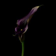 Calla Lily, Purple, Dark Backg...