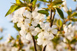 Branches of blooming cherry tree in a spring orchard.