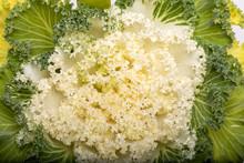 Ornamental White Kale Or Cabba...