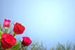 canvas print picture - Red rose flower on the field