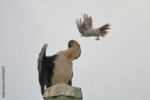 Miner Bird harassing Australasian Darter on pole Tablou Canvas