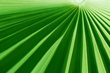 Closeup Of A Tropical Palm Lea...