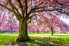 View From Below Of A Blossoming Japanese Cherry Tree In A Grassy Meadow By A Sunny Spring Afternoon, With Branches Laden With Clusters Of Pink Flowers.