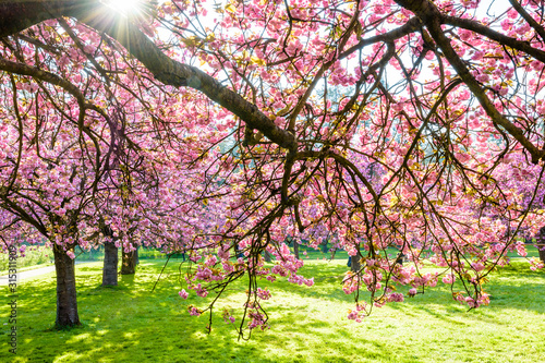 Obraz na plátně Branches of a blossoming Japanese cherry tree laden with clusters of pink flowers in a grassy meadow by a sunny spring afternoon