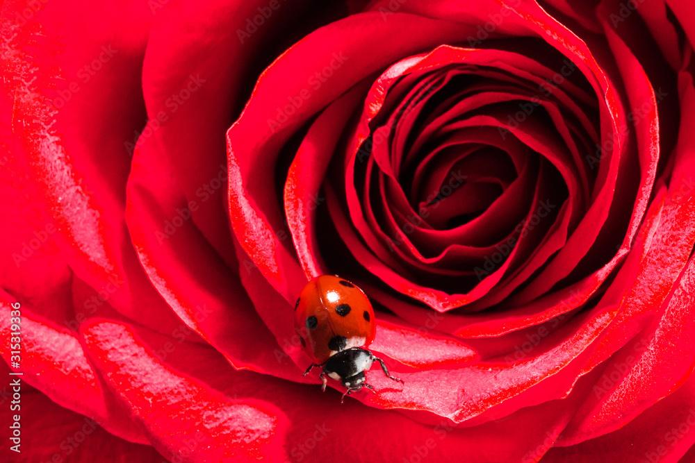 Fototapeta Ladybug on red rose