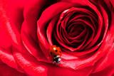 Fototapeta Kawa jest smaczna - Ladybug on red rose