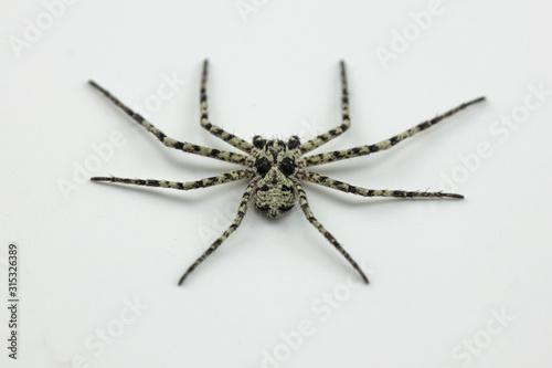 Swedish spider Philodromus margaritatus Wallpaper Mural