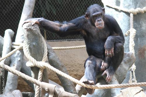 Fotografie, Tablou  resting chimpanzee portrait