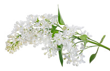 Isolated Pure White Lilac With...