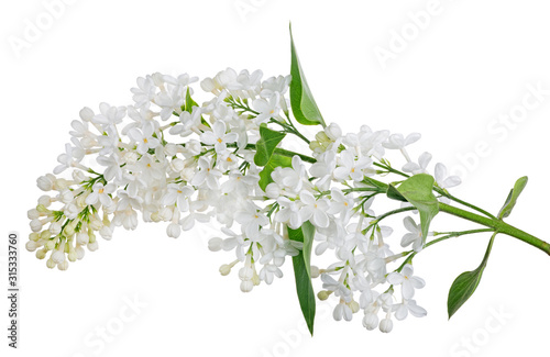 isolated pure white lilac with green small leaves