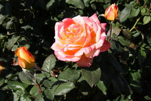Two Tone Roses In Garden