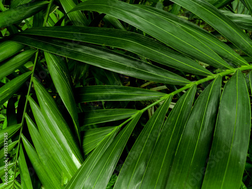 Nature view of areca palm leaves for background and wallpaper Canvas Print