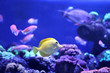 canvas print picture - Beautiful yellow tang fish in clear aquarium water