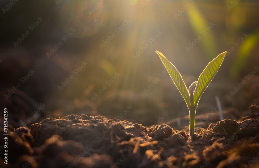 Fototapeta Growing plant,Young plant in the morning light on ground background, New life concept.Small plants on the ground in spring.fresh,seed,Photo fresh and Agriculture concept idea.