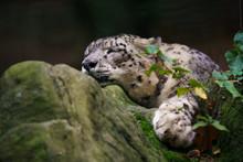 Closeup Of A Snow Leopard Sleeping On A Rock