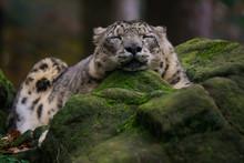 Closeup Of A Snow Leopard Slee...