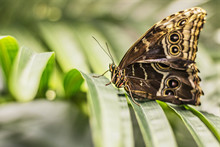 Close-up Of A Morpho Butterfly...