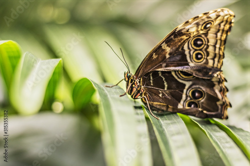 Close-up of a Morpho butterfly on a palm leaf. Canvas-taulu