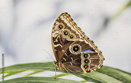 Fotomural Close-up of a Morpho butterfly on a palm leaf.