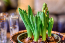 Hyacinth Bulbs In A Bowl Start...