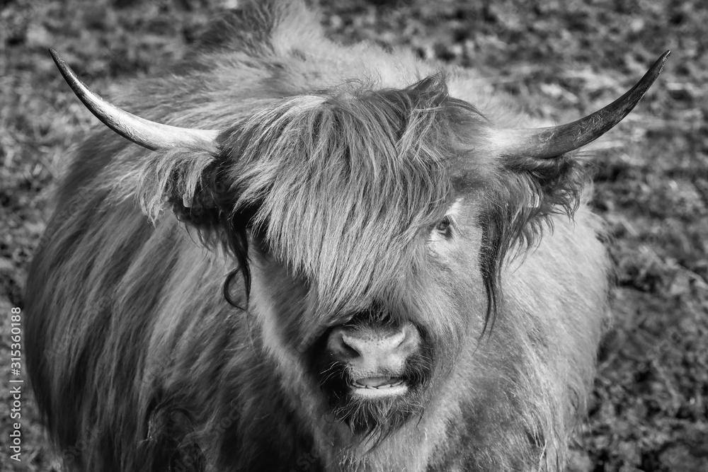 Schottisches Hochlandrind - Hochlandkuh als Tierportrait