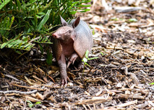 Wild Armored Armadillo Foraging For Food In Its Natural Habitat Preserve